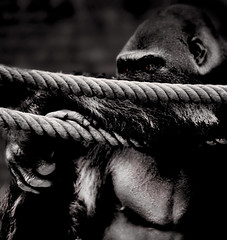 cheffe3 (moechslen) Tags: bw animal germany zoo gorilla sony leipzig sachsen fullframe mammals zoologischergarten primates zoological tierfotografie primaten tierfotographie a850 animalportait tierportrait sony70400
