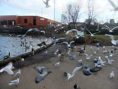 2014_02_040005 (Gwydion M. Williams) Tags: uk greatbritain england lake swan britain swans coventry citycentre westmidlands warwickshire wildfowl swanswell swanswelllake centralcoventry