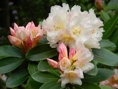Darts Hill Garden, British Columbia ~EXPLORE~ (careth@2012) Tags: flower macro britishcolumbia rhododendron unforgettableflowers dartshillgarden thebestofunforgettableflowers