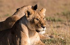 Lioness on savannah (Bazzzje) Tags: nature cat canon wildlife lion 300mm safari mara savannah predator lioness masaimara 70d masaaimara mygearandme mygearandmepremium mygearandmebronze mygearandmesilver