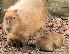capibara artis IMG_0709 (j.a.kok) Tags: artis capybara capibara hydrochaerishydrochaeris