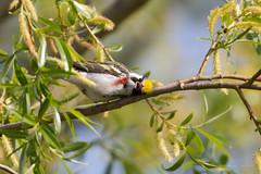 _53F0865 Chestnut-sided Warbler (~ Michaela Sagatova ~) Tags: male spring dundas chestnutsidedwarbler dendroicapensylvanica birdphotography dvca michaelasagatova