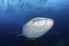 2014 03 VOISIN MALDIVES-7232