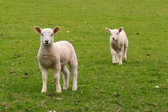 Spring Lambs (~*Hannah*~) Tags: spring sheep lamb hannahwelbourn
