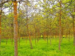 A walnut tree field - Tuscany (Hervé Platteaux) Tags: italy orange tree green walnut vert tuscany toscane arbre italie 2014