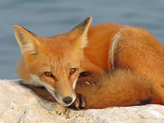 Red Rain (marylee.agnew) Tags: vulpes red fox water canine mammal wildlife nature eyes outdoor