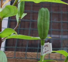 Breeding new lilies for next year. (stephenmcmellen) Tags: pods seeds seedpods