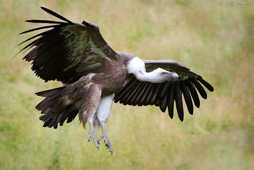 Another flying vulture