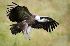 Another flying vulture (Cloudtail the Snow Leopard) Tags: gnsegeier wildpark bad mergentheim tier animal vogel bird griffon vulture geier gyps fulvus flug fliegen fly flying cloudtailthesnowleopard