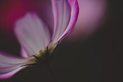 COSMOS (tomoaki ooita) Tags:      cosmos autumn pink flower macro eos6d canon ef100mmf28lmacroisusm