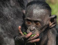 Mum says I need to eat more salad ! (FocusPocus Photography) Tags: bonobo baby youngster kolela wilhelma zoo tier animal