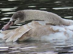 Cygnet colours (kathryn Wilkins) Tags: cygnet swan southend soutchurch park