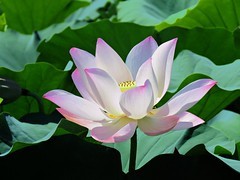 pink dancer (oneroadlucky) Tags: nature plant flower lotus waterlily pink
