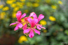 Pinks on Yellow (fs999) Tags: 100iso fs999 fschneider aficionados zinzins pentaxist pentaxian pentax k1 pentaxk1 fullframe justpentax flickrlovers ashotadayorso topqualityimage topqualityimageonly artcafe pentaxart corel paintshop paintshoppro x9ultimate paintshopprox9ultimate masterphotos fleur flower blume bloem macrolife macro makro sigmaart1835mmf18dchsm sigma sigma1835 hsm 1835 f18