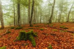 Ya llega el otoo (Alfredo.Ruiz) Tags: canon samyang 14 bosque otoo niebla opakua jhaya hayedo alava