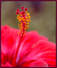 Hibiscus (Francesca D'Agostino) Tags: fiore flower hibiscus colori colors rosso red giallo yellow