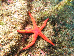 Starfish (roger_forster) Tags: starfish horta faial azores diving underwater scuba flash echinoderm ophidiasterophidianus purple