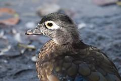 Female Wood Duck (careth@2012) Tags: