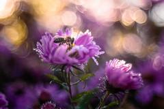 Dreamy (hploeckl) Tags: bee diaplan pentacon projector vintage purple switzerland stgallen nikon d750 bokeh bubble automn fall flowers nature macro