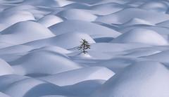One (David Young - LandscapeExposure.com) Tags: canadianrockies winter landscape alberta snow minimalist tree charliebrowncutitdown