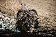 Nile Crocodile (ivandragutinovic) Tags: crocodile nile animal crocodylus reptile nature niloticus wildlife wilderness predator wild dangerous africa
