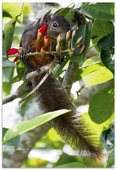 Shopping for red lipstick - 7559 (willfire) Tags: willfire singapore plantain squirrel redlipstick much eat tree branch