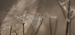Web-5359 Explored. (WendyCoops224) Tags: 100400mml 70d canon eos localbirdswildlife spiders web autumn ©wendycooper explored explore