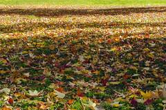 Tappeto d'autunno (forastico) Tags: forastico d7000 autunno foglie tappeto milano lombardia