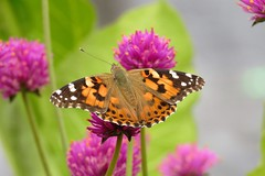 Painted Lady (Patricia Henschen) Tags: paintedlady botanic butterfly vanessacardui ofallonperennialwalk denver denverbotanicgardens colorado garden gardens botanicgarden flower flowers