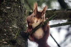 Was guckst du ??? (explored 28.11.16) (J.Weyerhuser) Tags: squirrel eichhrnchen natur tier baum