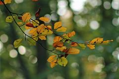 Autumn Leaves (christina.marsh25) Tags: autumnleaves orange gold beech bokeh