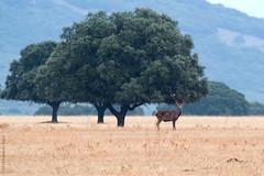 Cervus elaphus (Havock.) Tags: raa cabaeros venado ciervo sigma 120300 nikon d700 raa cabaeros