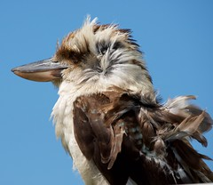 Kookaburra in wind (rinse cycler) Tags: australianwildlife kookaburra bird ruffledfeathers