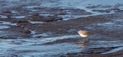 Shorebird on the Arctic Ocean (Bonnie Ott) Tags: alaska deadhorsecamp deadhorse dead horse arctic arcticocean