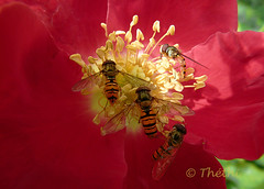 150720 rdi 161201  Ththi ( 6 pics ) (thethi: pls read the 1st comment :-)) Tags: nature fleur rose diptere insecte macro saison namur wallonie belgique belgium faves36 rubyinv