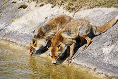 thirsty foxes (jan_vrouwe) Tags: thirsty foxes fox amsterdam vogelenzang oase awd sandhill dune seasite two nature