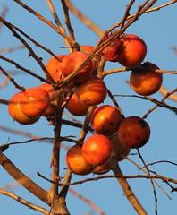 Common Persimmon (Diospyros virginiana Linnaeus) 10-29-2016 Pt. Lookout SP. St. Mary's Co. MD 2 (Birder20714) Tags: plants maryland ebonies ebonaceae diospyros virginiana