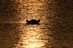 01-South_Africa-2016 (Beverly Houwing) Tags: color gold hippo krugerpark reflects ripples silhouette southafrica sunset surface water