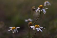 Novembermargeriten (g e g e n l i c h t) Tags: blumen blüten margeriten leucanthemumvulgare wiese wiesenblumen voigtländernokton25mmf095 f095