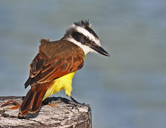 Windy Perch... (MWBee) Tags: mexico eldoradoseasidesuites yucatan mwbee nikon d5000 bird windy greatkiskadee kiskadee