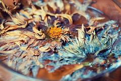 Beauty of Ephemerality (Maxi Winter) Tags: blossoms blten fleurs fall herbst autumn automne dahlia dahlien vase schale decay ephemeral vergnglich zerfall ephemerality dgradation petals ptales bltenbltter wasser eau water