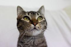 Gato busca hogar (Jantbrown) Tags: cat gato adopcin adopta animales abandonados refugio sevilla espaa animal callejero pet mascota mascotas canon 24mm f28 sweet cute kawaii