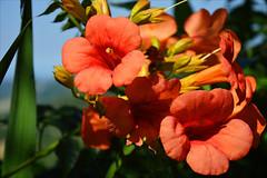 The trumpets of San Leo (angelsgermain) Tags: flowers colours orange light green leaves garden plant vine capsis trumpetvine gessamdevirgnia summer sanleo marche italia italy