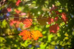 backlit bokeh (kderricotte) Tags: helios40285mm15 bokeh depthoffield 85mm canon5dmarkii dslr leaf leaves fall autumn backlit sunlight bright plant tree foliage outdoor swirleybokeh