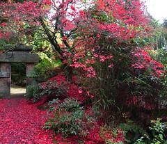 Red dreams 2 (Vstromkid) Tags: red china leaves autumn biddulph acers biddulphgrangegarden