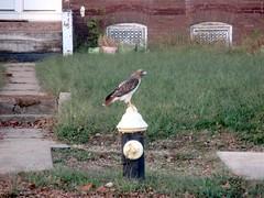 hydrant hawk (TMQ.st.louis) Tags: hawk bird hydrant