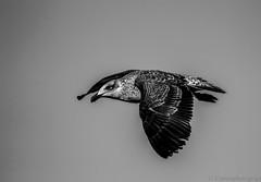 gaviotin (Cmura) Tags: avecostera costera bird canon blackandwhite white black blancoynegro negro blanco ivregión coquimbo gaviotin gaviota avechucho ave bw