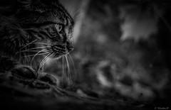 l'afft (Pilouchy) Tags: blackandwhite felin cat chat noir lumiere free vie regard wild felino feline eyes yeux bellissima chemin france montagne affut monochrome