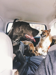 330/366 (moke076) Tags: 2016 365 366 project366 project 365project project365 oneaday photoaday vsco vscocam cell cellphone iphone mobile dogs car subaru forester great dane mutt fawn blue moose petsit driving backseat animals pets