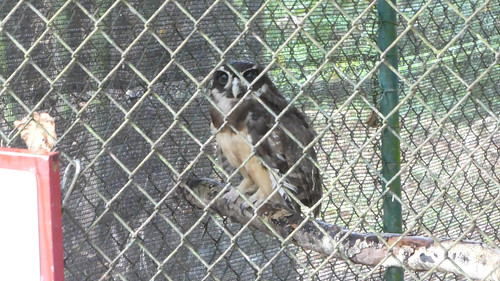 Spectacled owl in the Paramaribo Zoo